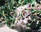 Little White Kitten Hides by Chriss Pagani