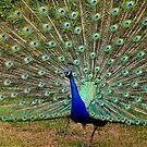 peacock by cynthiab