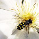 Bee's Cousin by tonymm6491