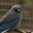 Black-faced Woodswallow, Cleland Wildlife Park by SusanAdey
