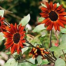 Red Sunflower Trio of 2018 by Steven Newton