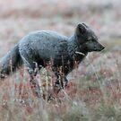 Arktischer Fox, der durch ein träumerisches Feld von wilden Blumen läuft von Michael Schauer