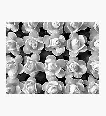 Papery Roses by Jenny Meehan Photographic Print