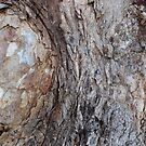 Bark on the lower trunk of River Red Gum, calamdulensis. 'Arilka'.  by Rita Blom