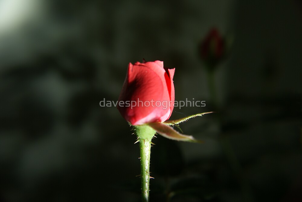 Minature Rose by davesphotographics