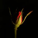 Minature Rose 1 by davesphotographics
