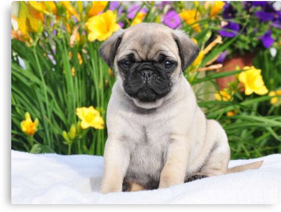 Cute Puppy Caesar the Pug by AiReal Apparel by airealapparel