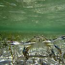 Fighting Crab by diveroptic
