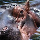 Hippo 2 by sean sweeney