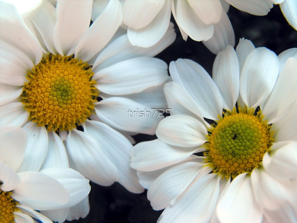 Daisies by trish725