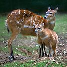 Sitatunga and Fawn by Krys Bailey