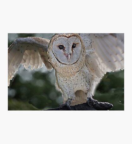 Barn Owl spread Photographic Print