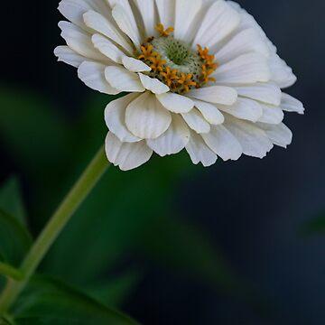White Zinnia by gerdagrice