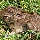 Baby Bunny Rabbit by vette