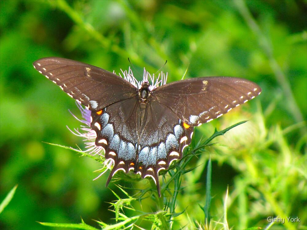 Spicebush Swallowtail by Ginny York