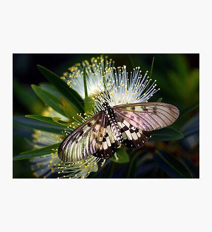Glasswings Photographic Print