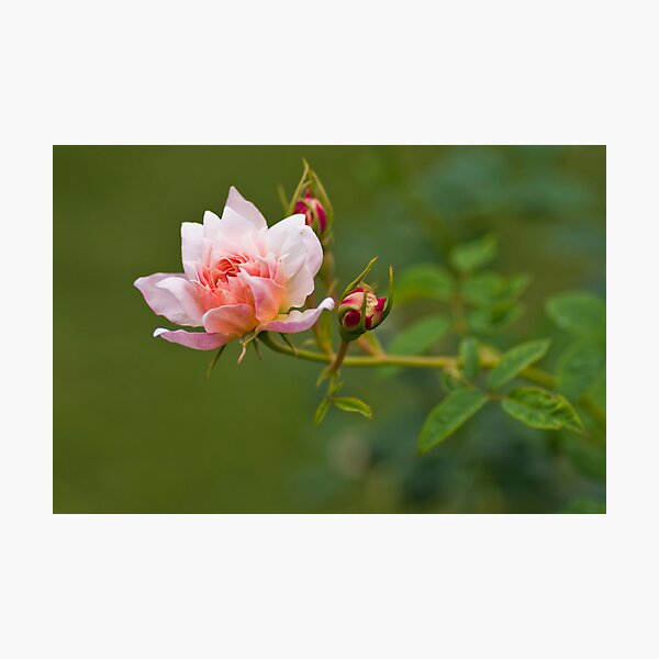 Sister Rose Photographic Print
