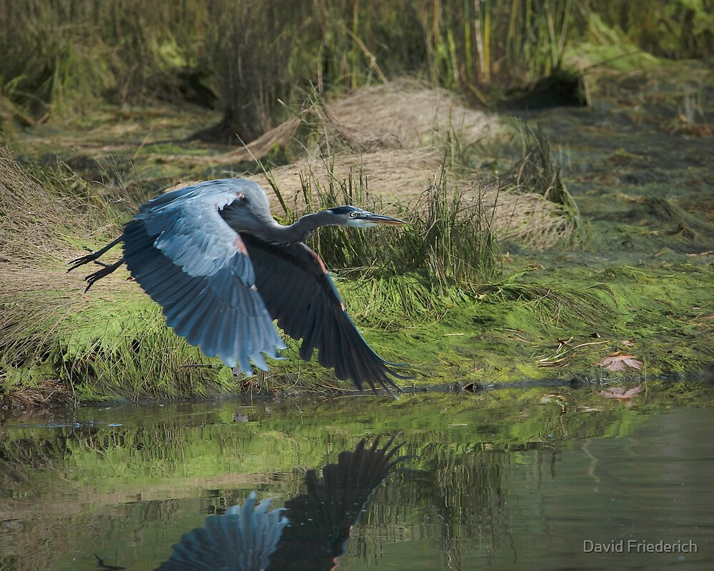 Great Blue Heron In The Salt Marsh by David Friederich
