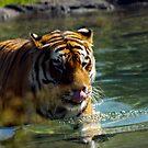 warm tiger by Cheryl Dunning