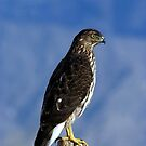 Daily Visitor - Coopers Hawk by © Loree McComb