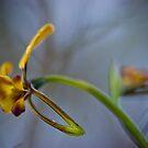 WILD WALLFLOWER ORCHID by hugo