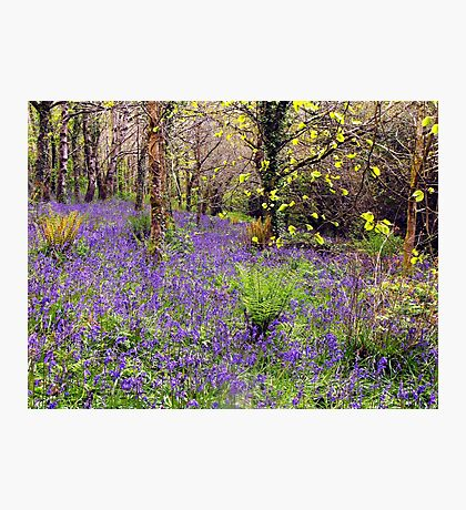 Bluebell Walk Photographic Print