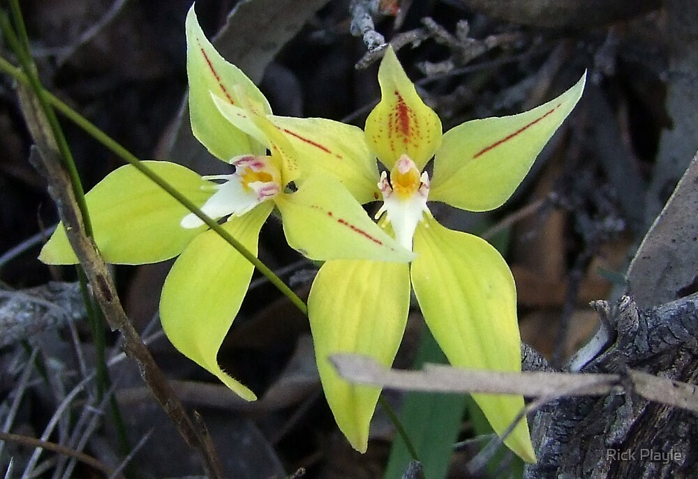 Foxes Lair Cowslip Orchid by Rick Playle