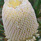 Woolly Banksia, Kings Park, Perth, Western Australia by Adrian Paul