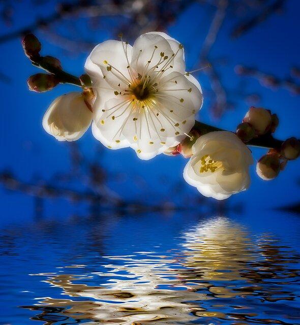 Winter blossom 2.  by DaveBassett