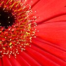Red flower by Sandra O'Connor