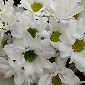 Chrysanthemum White background by designer437