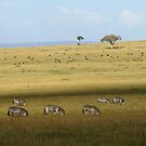 Zebras on the savanah by Yves Roumazeilles