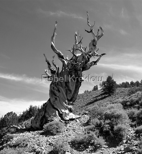 Something Older Than Me – White Mountains, Inyo County, CA by Rebel Kreklow