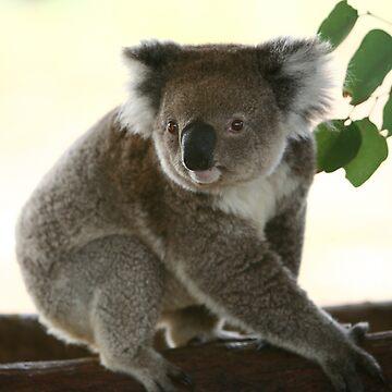 Cute look of a koala by yelys