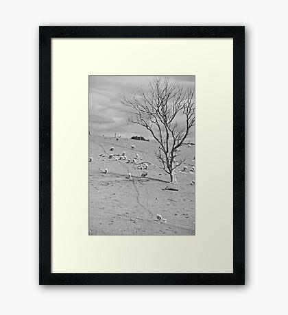 sheep trail Framed Print