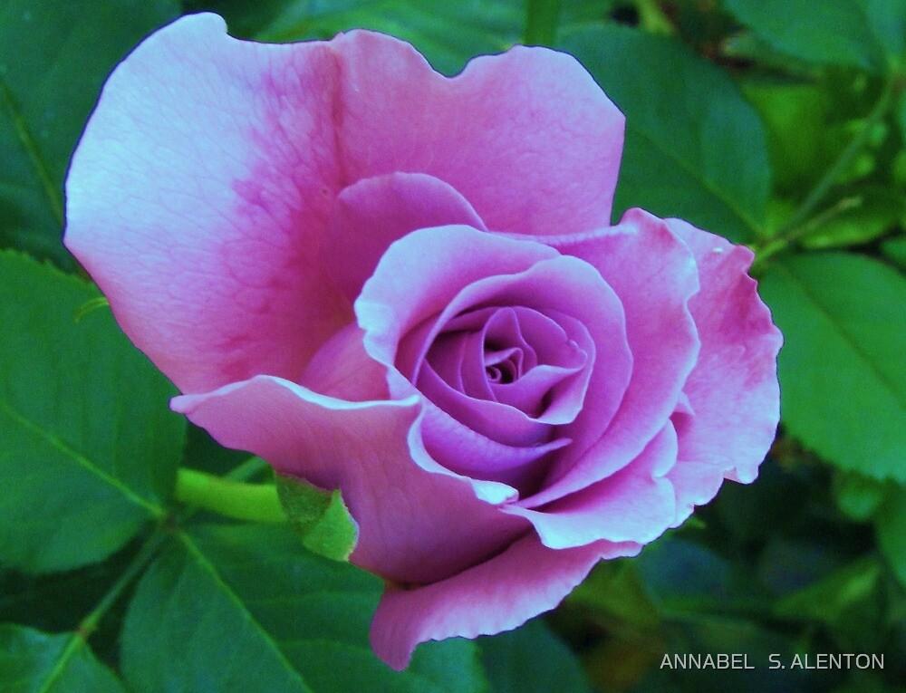 purple rose by ANNABEL   S. ALENTON