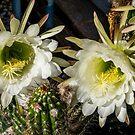 Arizona Cactus Flower by George I. Davidson