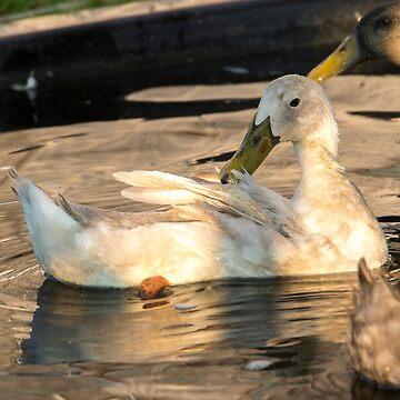 Run duck in the golden water 2 by anatida