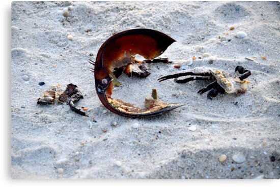 Horseshoe Crab Remains | Westhampton Beach, New York  by © Sophie W. Smith