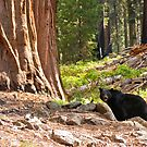 Black Bear in Giant Sequoia Forest by Nickolay Stanev