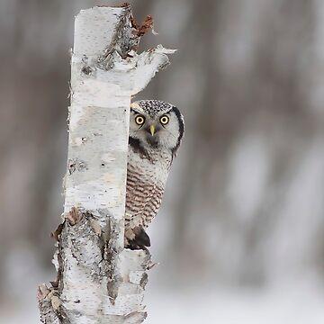 Northern Hawk-owl with prey by darby8