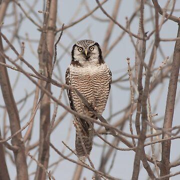 Northern Hawk-Owl  by darby8