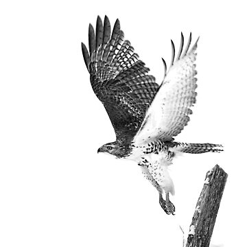 Red-tailed Hawk - B&W by darby8