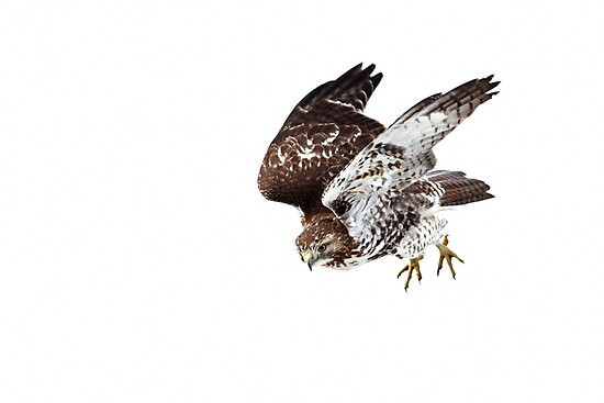 Red-tailed Hawk - Incoming by Jim Cumming