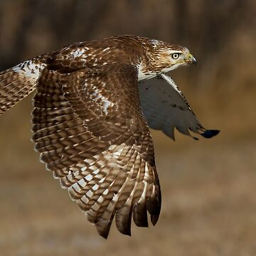 Red-tailed Hawk in Flight by darby8