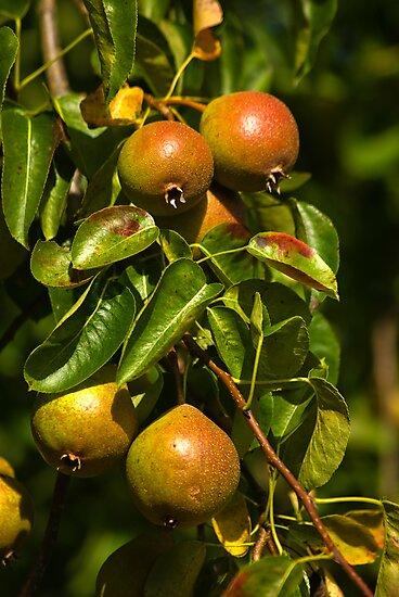 Little Green Apples by Trevor Kersley