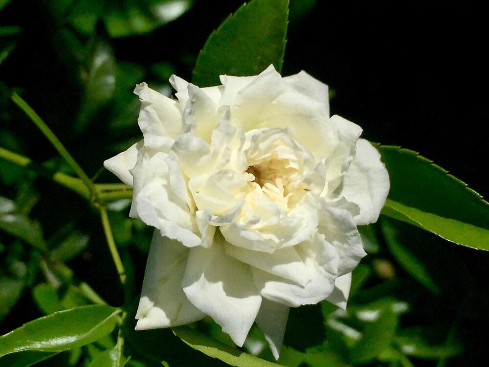 White Rose by EricaRobbin