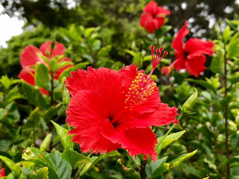 Red Hibiscus, Maui, HI, USA by EricaRobbin