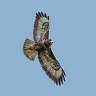 Buzzard on Watch! by Dave  Knowles