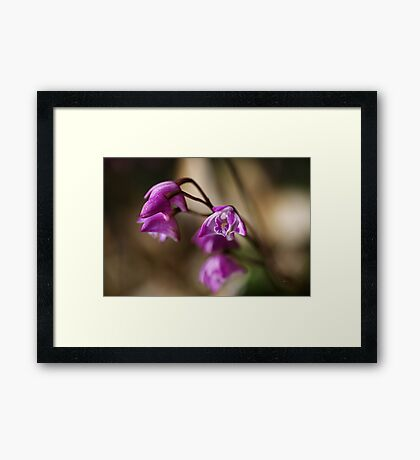 Australia's Native Orchid Small Dendrobium Framed Print